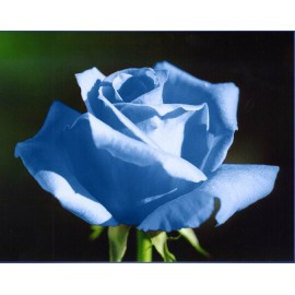 Blue Rose 100g Approx.5000 Seeds
