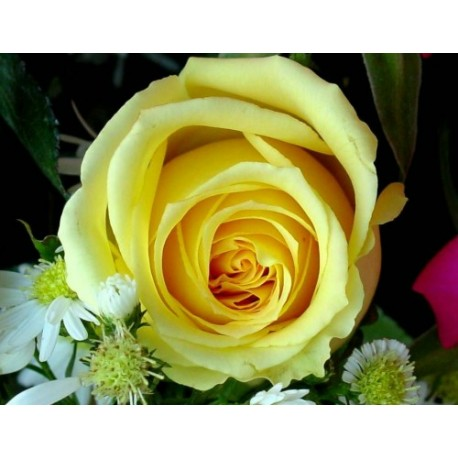 Yellow Rose 100g Approx.5000 Seeds