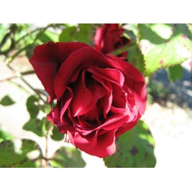 Climbing Rose 100g Approx.9400 Seeds