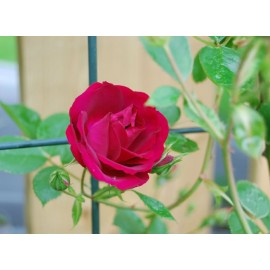 Climbing Rose (Red) 100g Approx.4800 Seeds