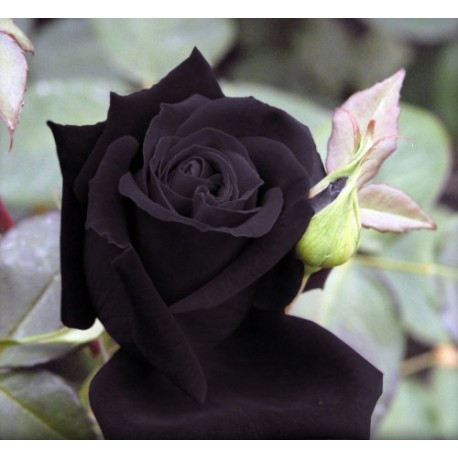 Black Rose 100g Approx.5000 Seeds
