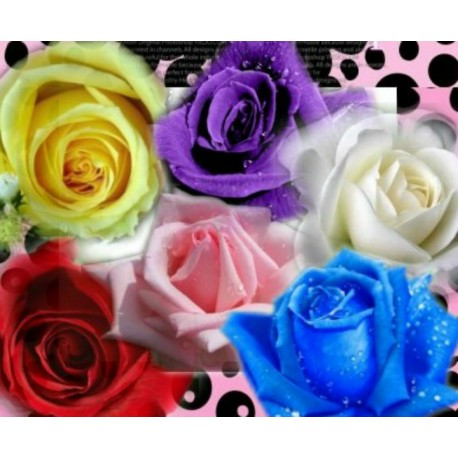 Rose (mixed color) 100g Approx.5000 Seeds