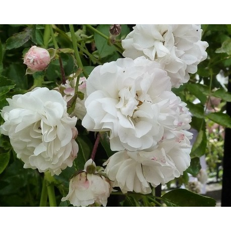 Climbing Rose (White) 100g Approx.10000 Seeds