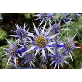 Eryngium (Sea Holly) - Seeds