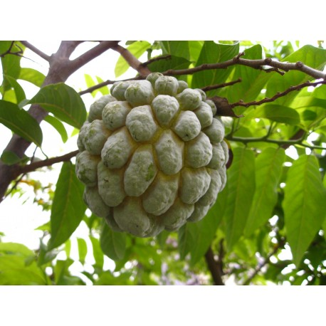 Sugar Apple - Seeds