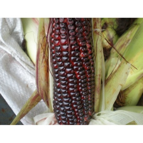 Sweet Corn (Purple) - 100 Grams approx. 370 Seeds