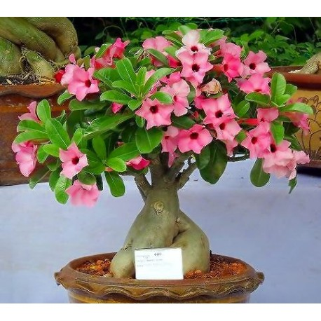 Adenium Obesum Has 2 Quot Wide Flowers That Can Range In Color