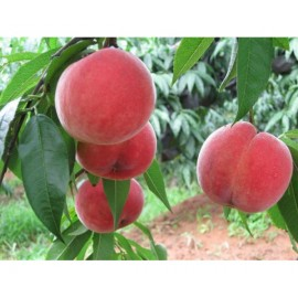 Prunus Persica / Peach - Seeds