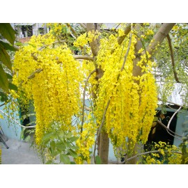 Golden Shower Tree / Cassia fistula - Seeds