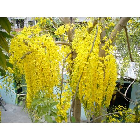 Golden Shower Tree - Seeds