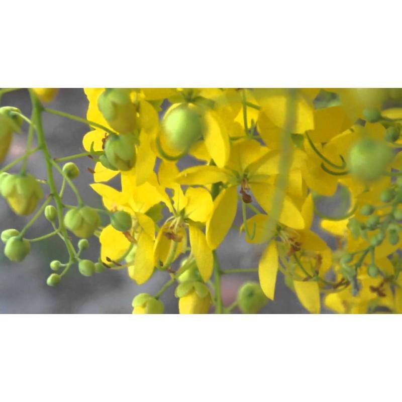 Golden shower tree seeds