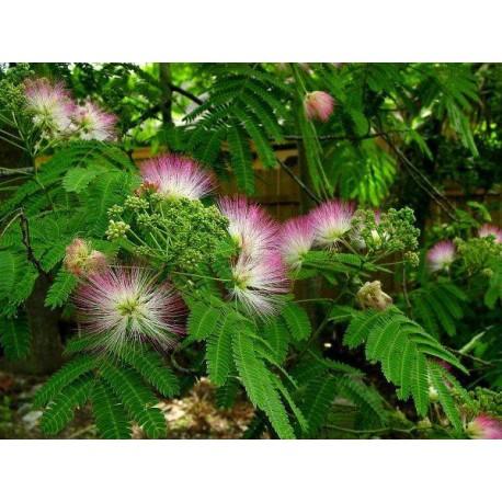 Albizia julibrissin - Seeds