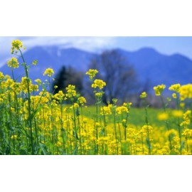 Rapeseed Oil 100g Approx. 26,000 Seeds