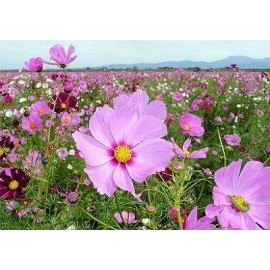 Cosmos 100g Approx.16,000 Seeds