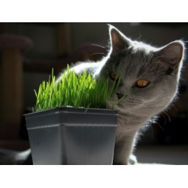Cat Grass 100g Approx. 2,000 Seeds