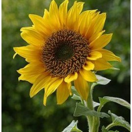 Helianthus 100g Approx.4100 Seeds