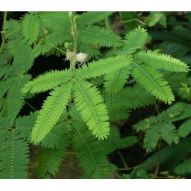 Mimosa Pudica 100g Approx.20000 Seeds