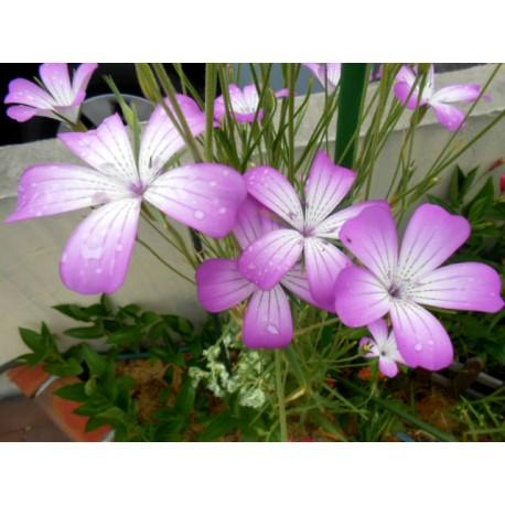 Agrostemma githago L 100g Approx.9000 Seeds