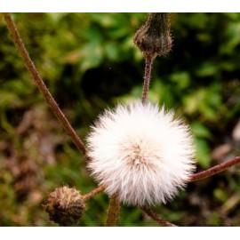 Tarasssaco 100g Approx.86000 Seeds