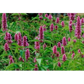 Agastache 100g Approx.100000 Seeds