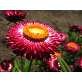 Helichrysum 100g Approx.200000 Seeds