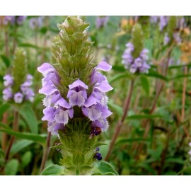 Prunella 100g Approx.100000 Seeds