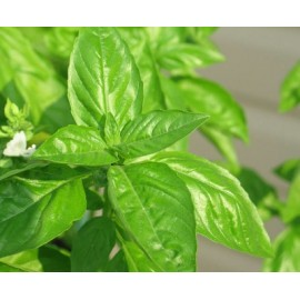 Basil (white flowers) 100g Approx.62,500 Seeds