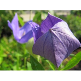 Platycodon 100g Approx.41,000 Seeds