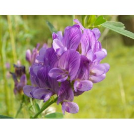 Medicago 100g Approx.32,000 Seeds