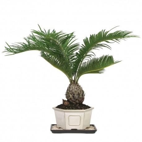Sago Palm Tree - Seeds