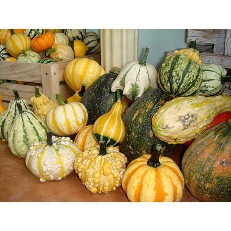 Ornamental gourd / Pumpkin 100g Approx.1150 Seeds