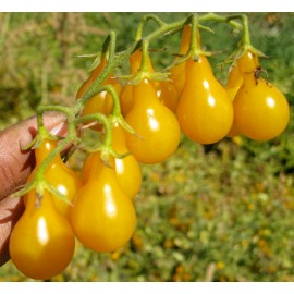 Pear Yellow Tomato 100g Approx. 40,000 Seeds