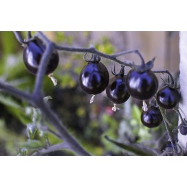 Purple Cherry tomatoes 100g Approx.40,000 Seeds