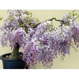 Wisteria Tree 100g Approx.150Seeds