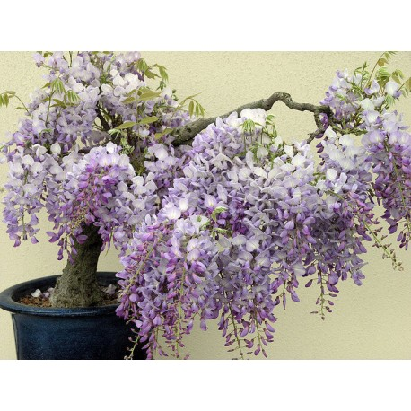 Wisteria Tree 100g Approx.170 Seeds