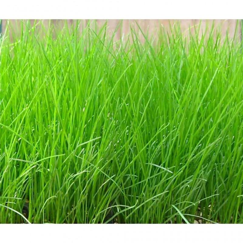 Tall Fescue Grass 100g Approx 161 000 Seeds Seedarea