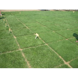 Tall Fescue Grass 100g Approx.161,000 Seeds