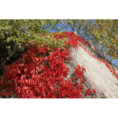Parthenocissus 100g Approx.3500 Seeds