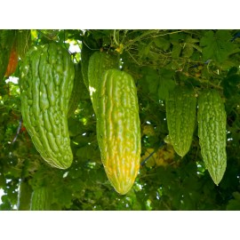 Chinese Bitter Gourd 100g Approx.500 Seeds