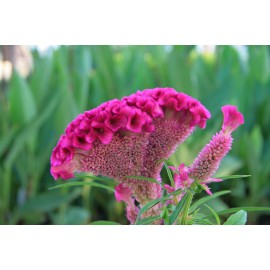 Celosia argentea Plumosa Group 100g Approx.110000 Seeds