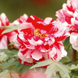 Paeonia 100g Approx.500 Seeds