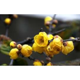 Chimonanthus praecox - Seeds
