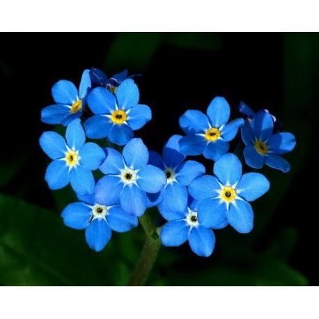 Forget-Me-Not or Myosotis Sylvatica Flower | Charismatic Planet