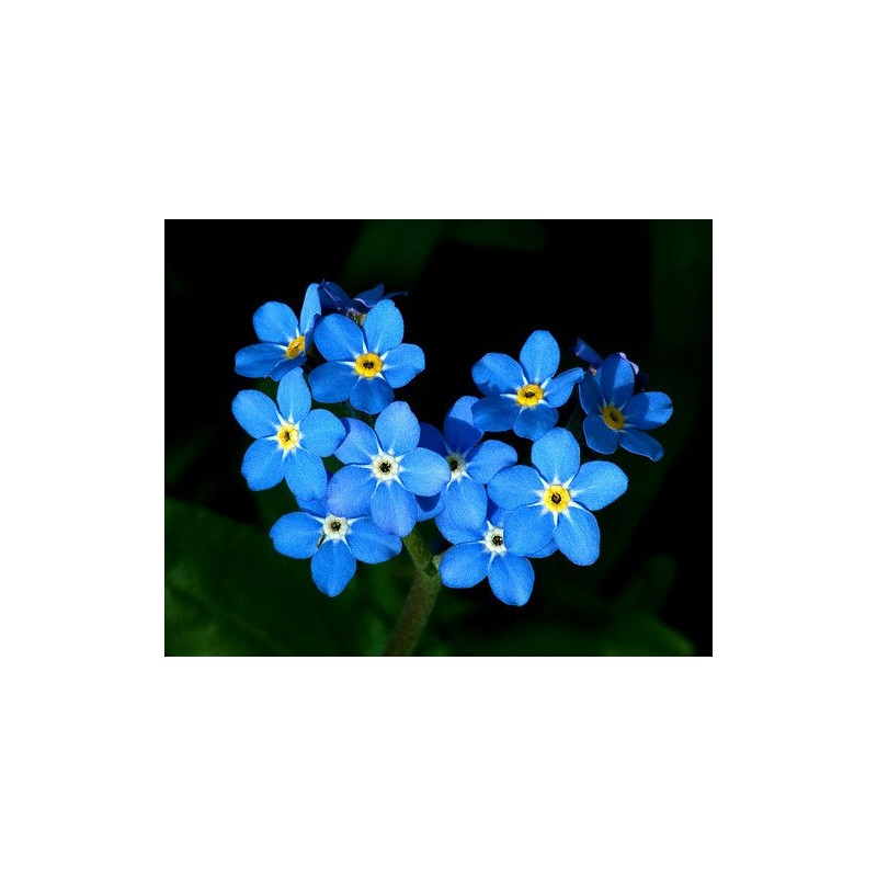 FORGET ME NOT FLOWER SEEDS MIXED COLORS 100 FRESH SEEDS FREE SHIPPING