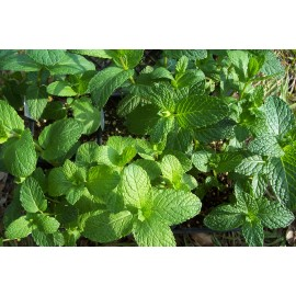Mint (Spearmint - seed) 100 grams Approx. 90,000 Seeds