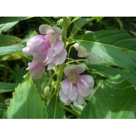 Impatiens - Seeds (pink)