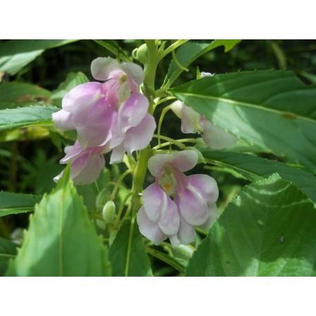 Impatiens (pink) - Seeds