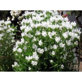 Echium - Seeds