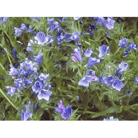 Echium (Blue) - Seeds