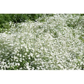 White Gypsophila 100g Approx.100,000 Seeds